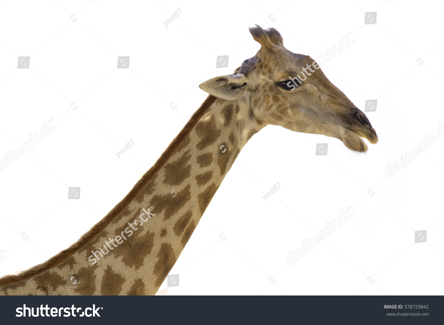 giraffe head white background - photo #40