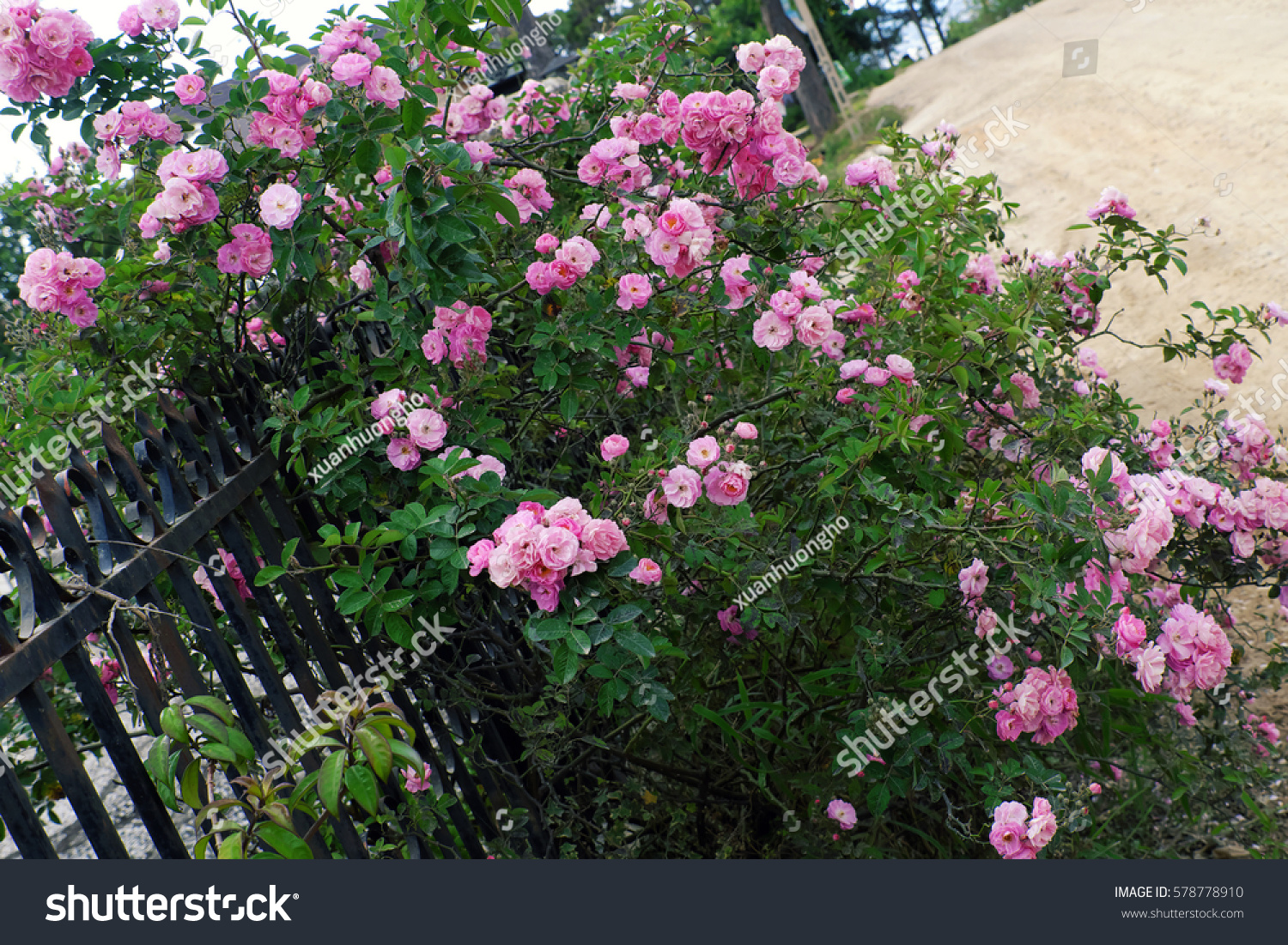 Ho/how to take care of climbing roses for winter - Beautiful Fence Of A Home At Dalat Vietnam Climbing Roses Trellis Front Of The