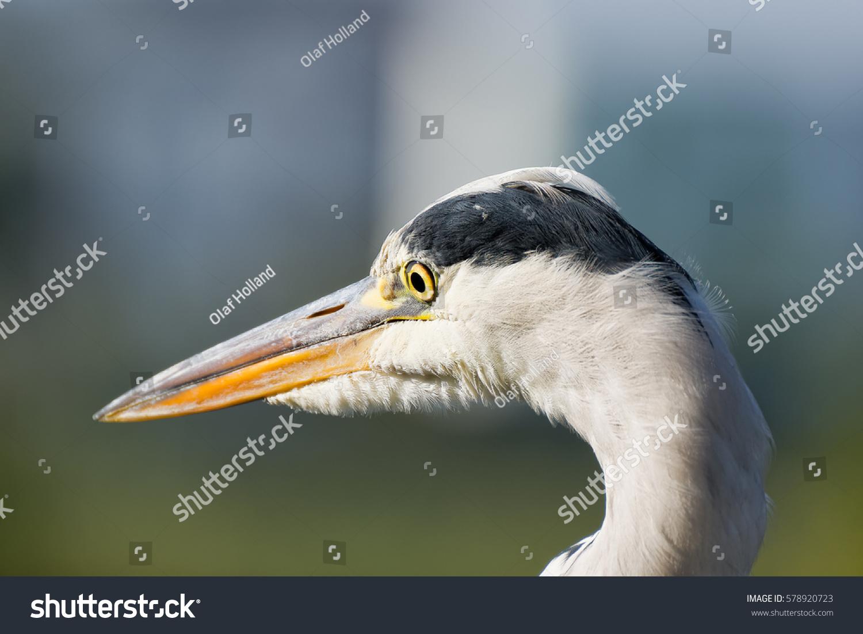 A Close Up Of A Mature Great Blue Heron Ez Canvas