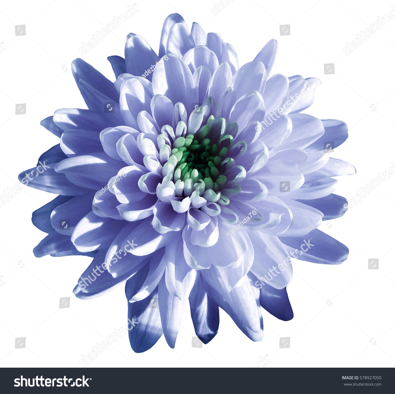Bluewhite Flower Chrysanthemum Garden Flower White Stock Photo Edit