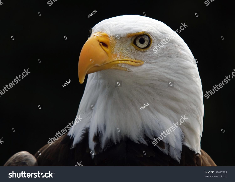 portrait american bald eagle bird prey stock photo 57897283