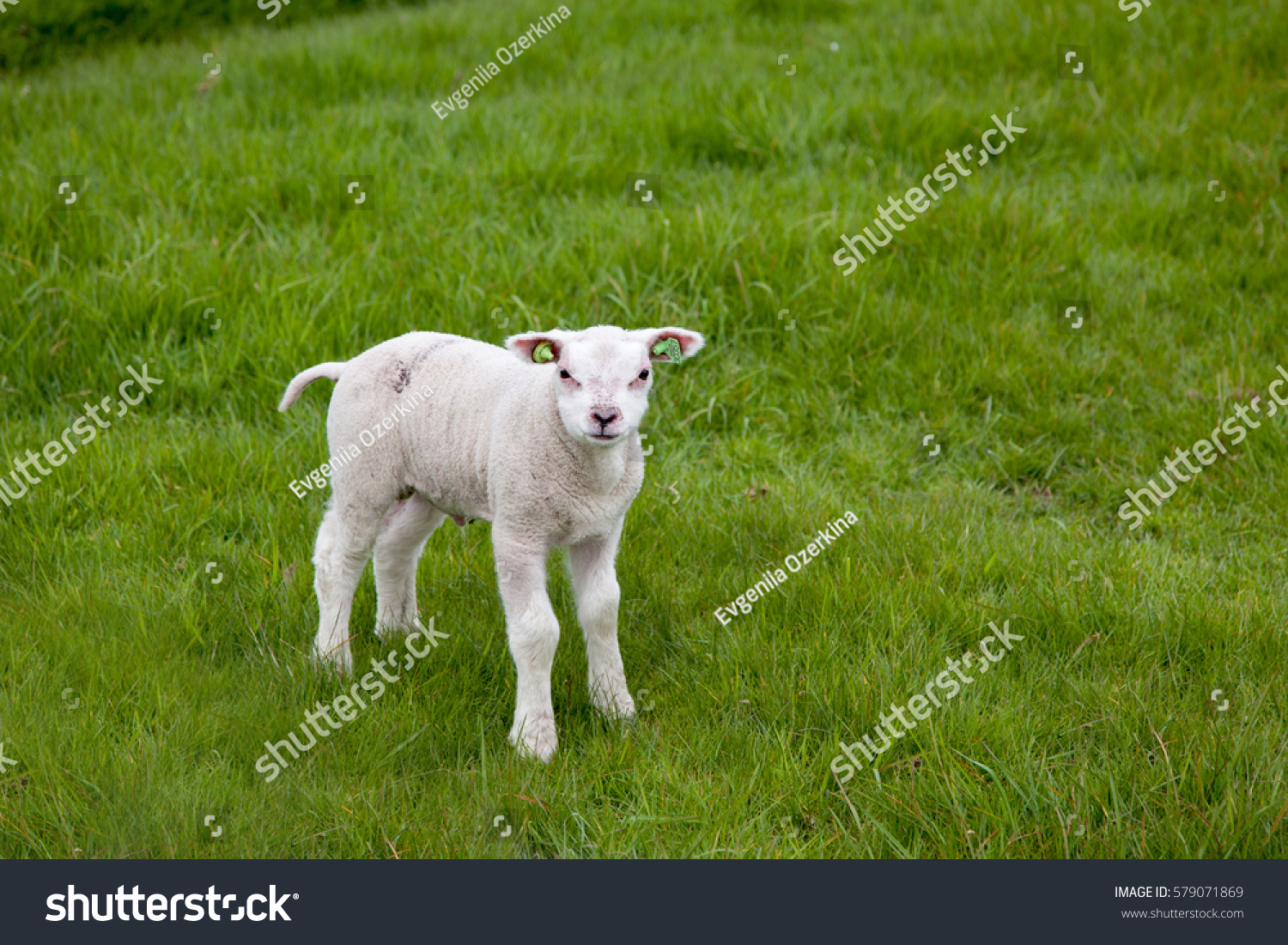 stock-photo-a-lamb-stands-on-green-grass