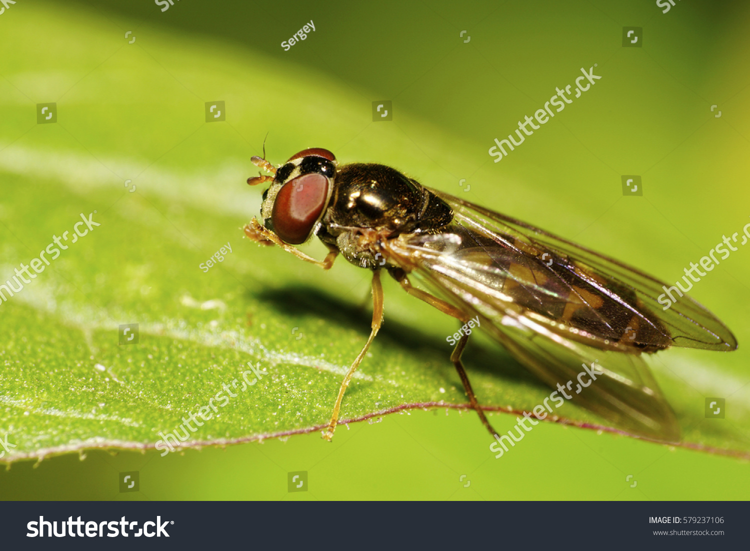 Macro Caucasian Colored Hover Fly Wings Stock Photo (Edit Now ...