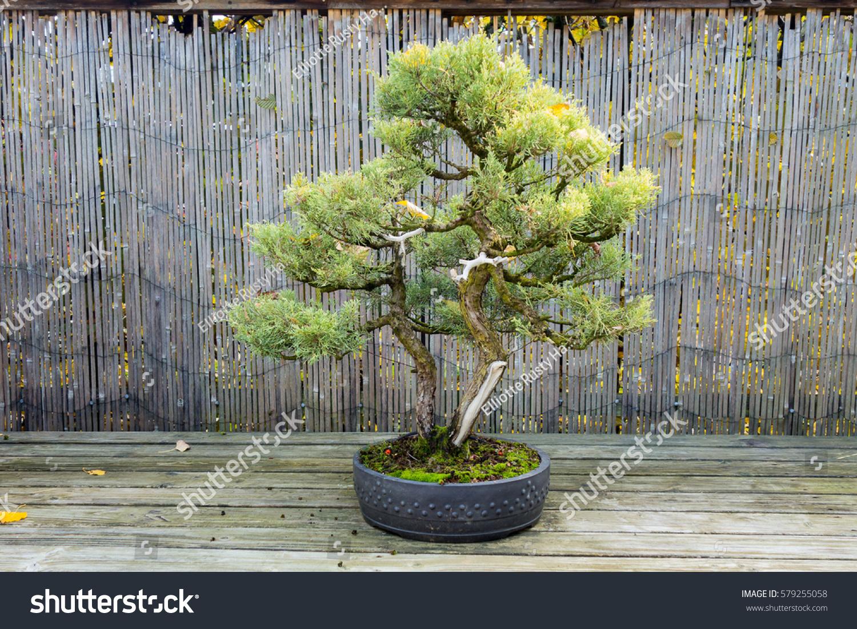 Juniper Bonsai Wacholder Juniperus Stock Photo Edit Now 579255058