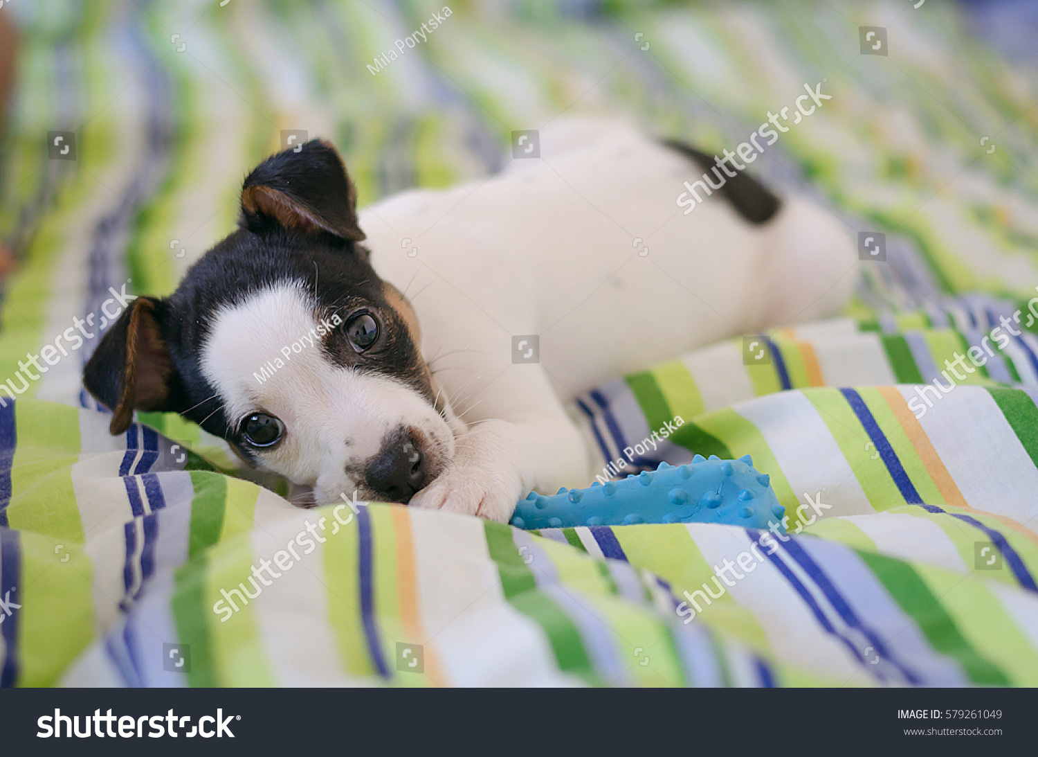 Jack Russell Terrier Puppy Lying On Stock Photo (Edit Now