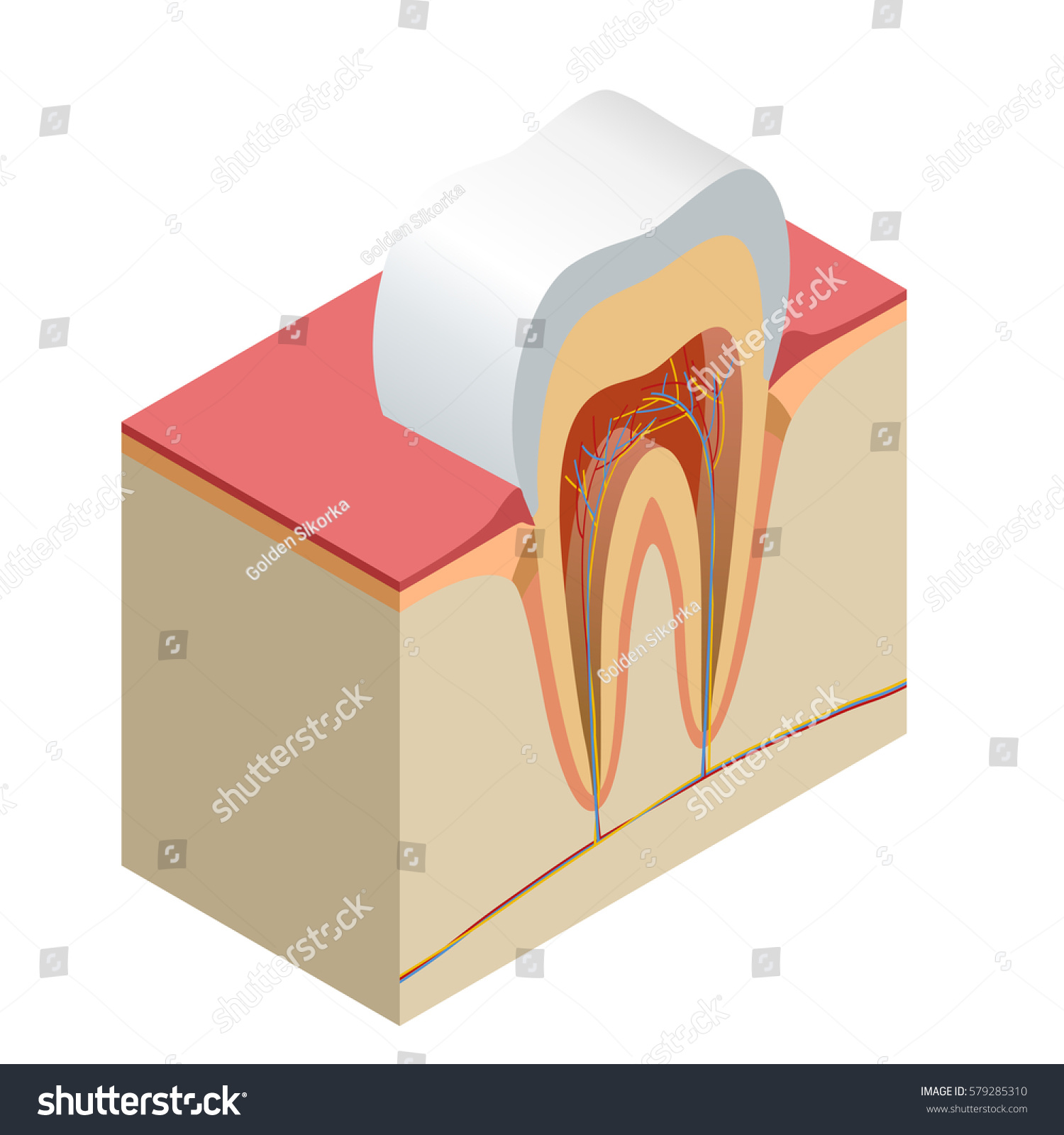 Isometric Real Tooth Anatomy Closeup Cut Stock Illustration