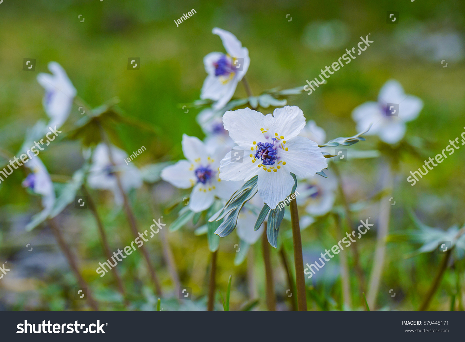 Pretty White Flowers Bloom Winter Stock Photo Edit Now 579445171
