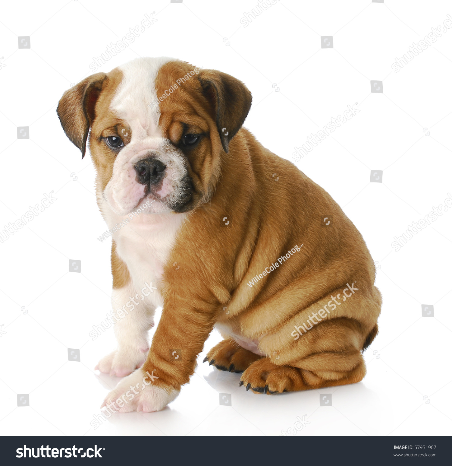 Eight Week Old English Bulldog Puppy Stock Photo Edit Now 57951907