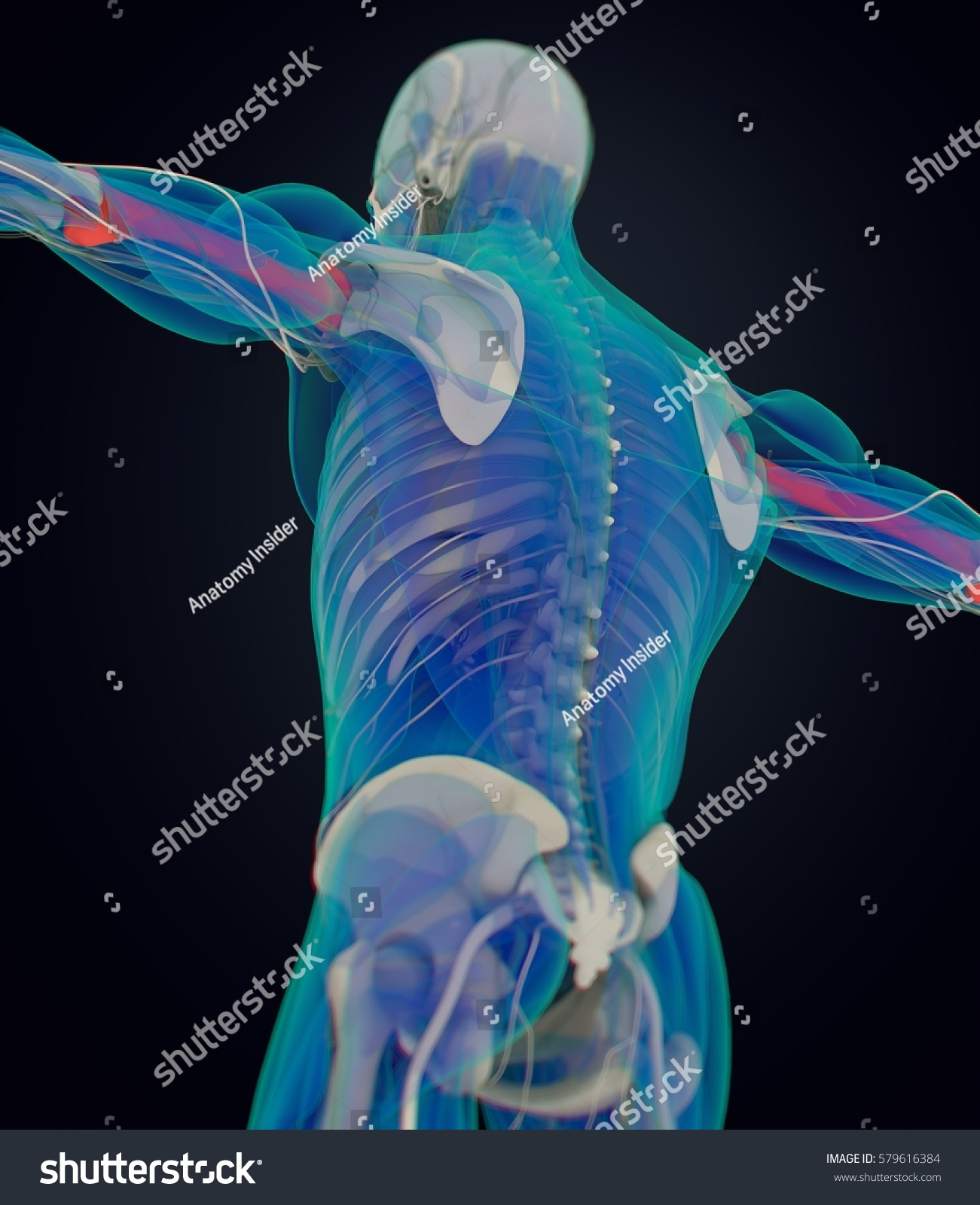 Humerus Bone Human Anatomy Skeletal System Stock Illustration