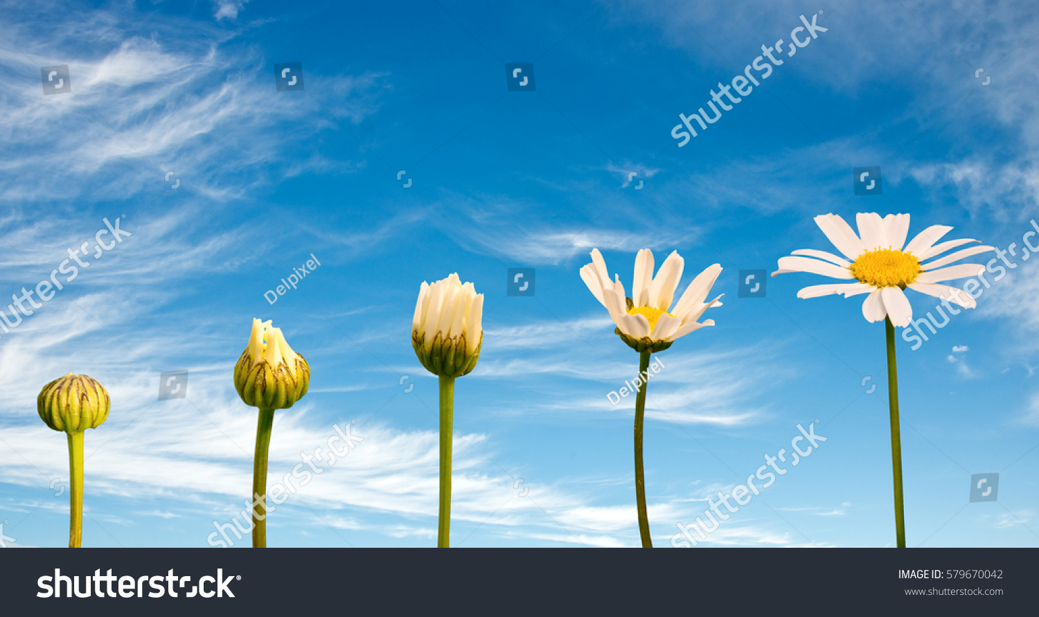 Stages of growth and flowering of a daisy, blue sky background, life concept #579670042
