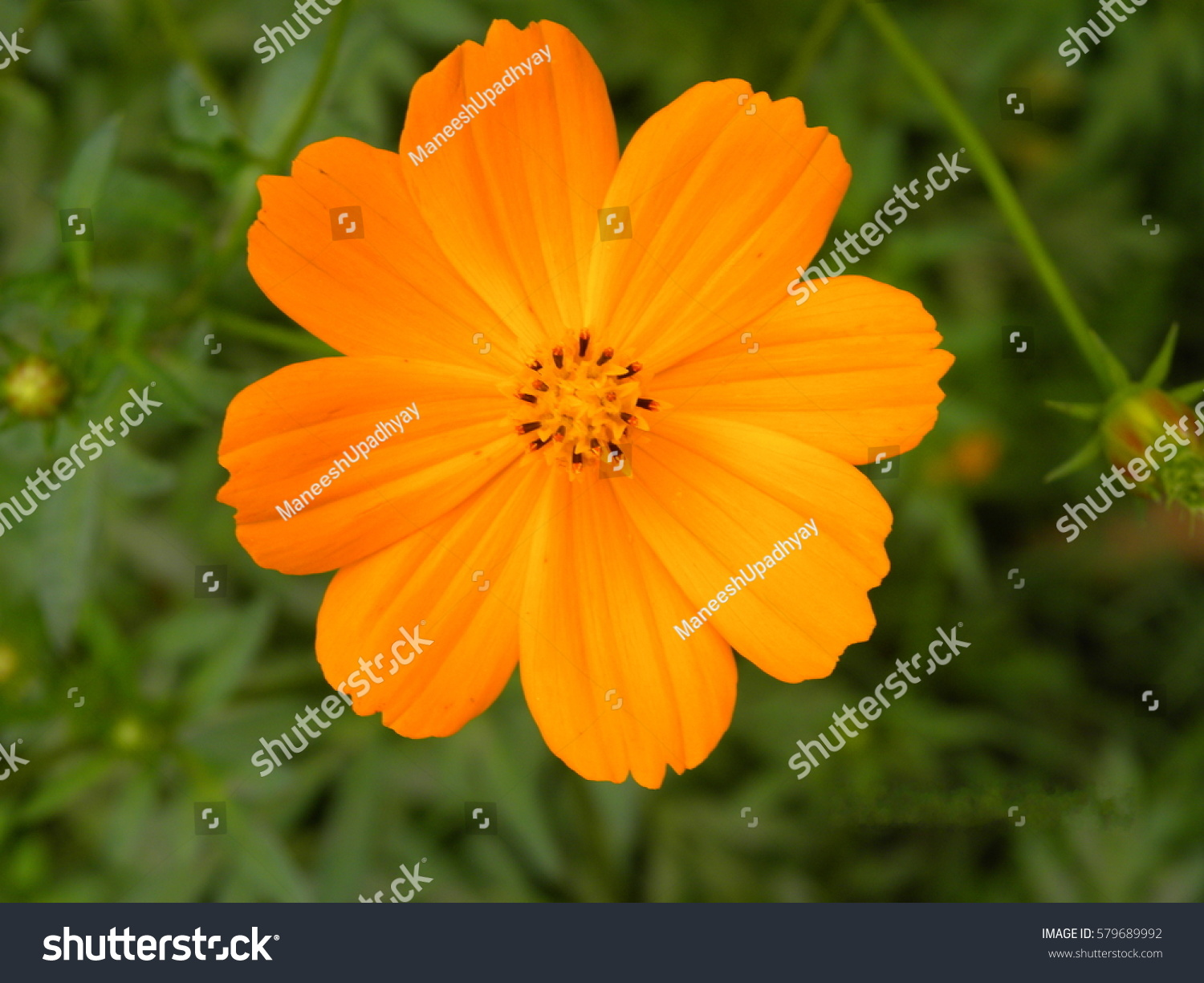 Close Orange Yellow Cosmos Flower Red Stock Photo Edit Now