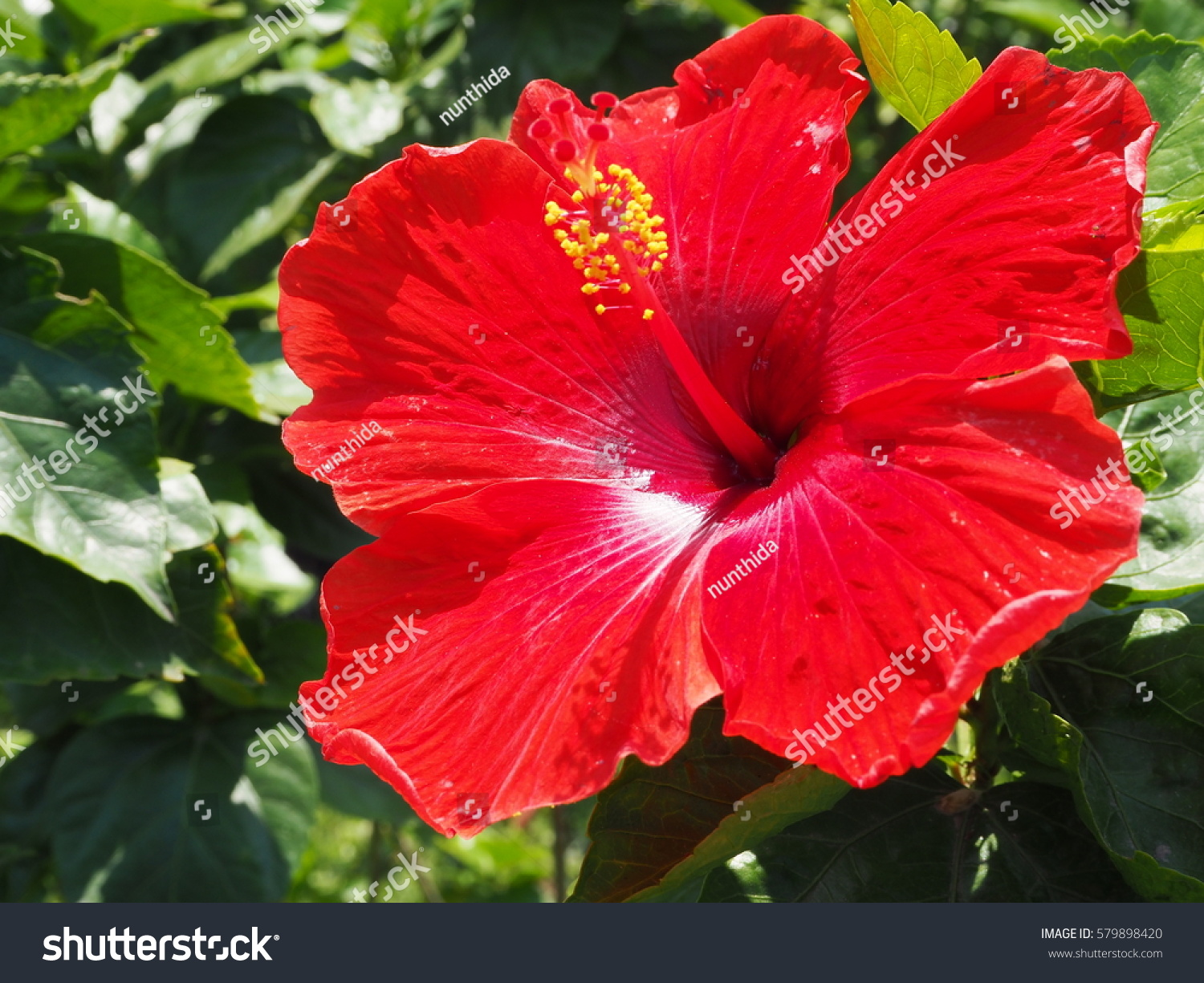 Tropical Red Hibiscus Flower On The Gardencloseup Of Chinese