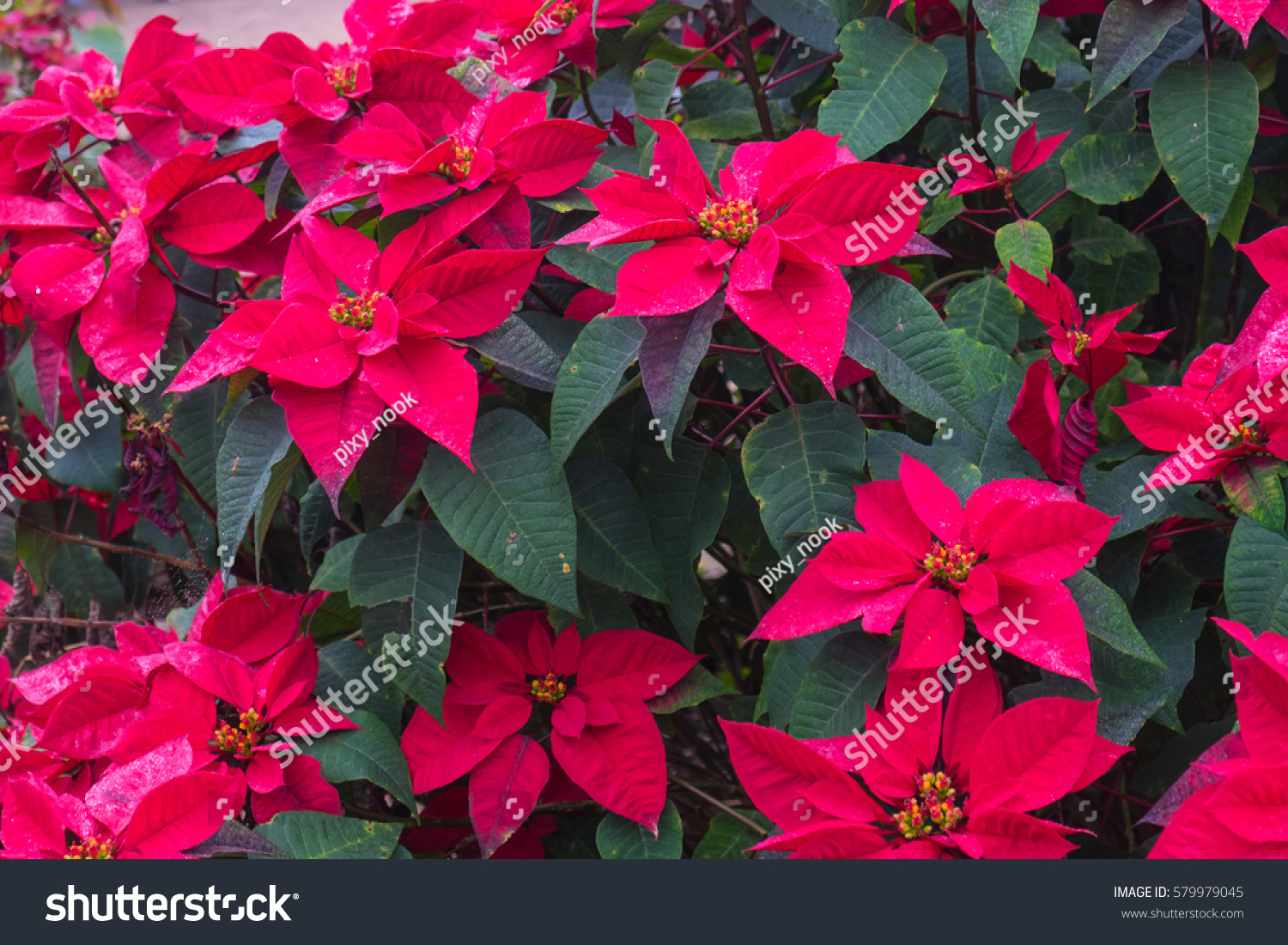 or red poinsettia - photo #39