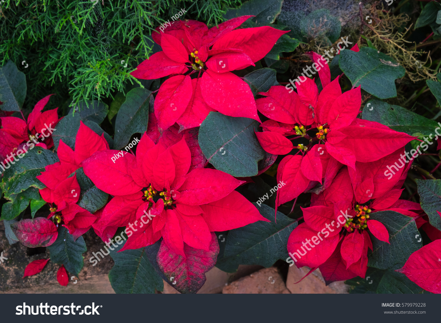 or red poinsettia - photo #22