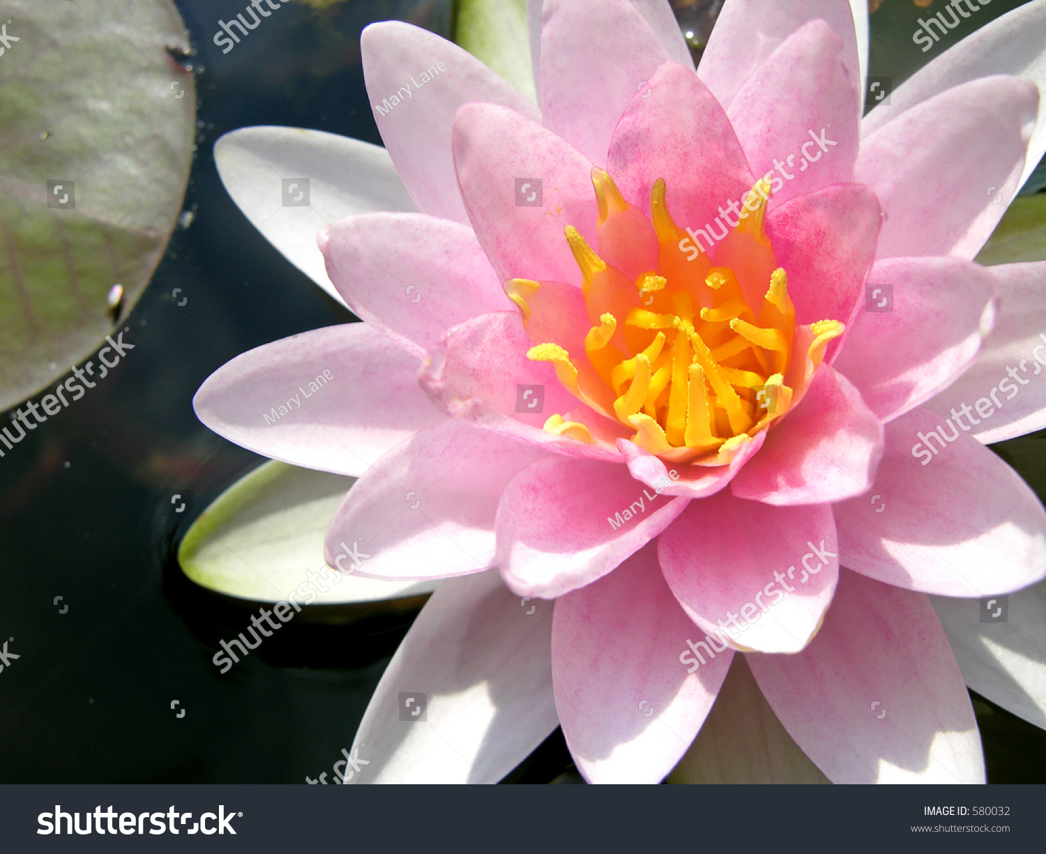 Pink waterlily with lily pad ez canvas id 580032 izmirmasajfo