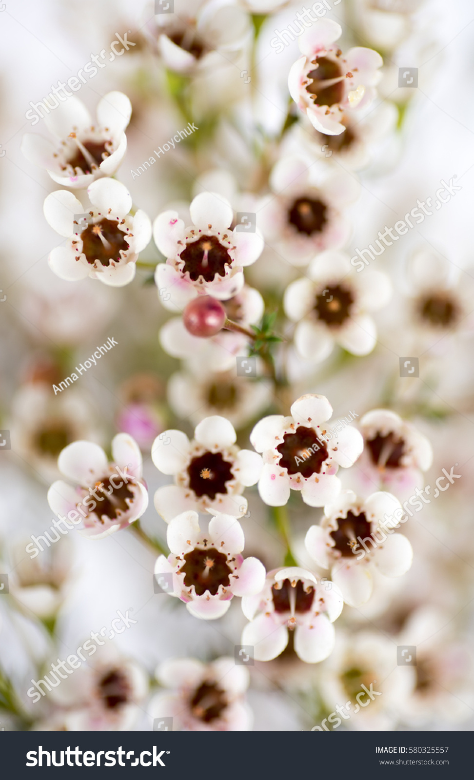 Bouquet White Wax Flowers Stock Photo Edit Now 580325557