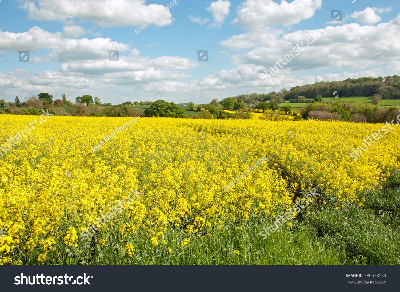 Bright Yellow Flowers Canola Fields English Stock Photo Edit Now