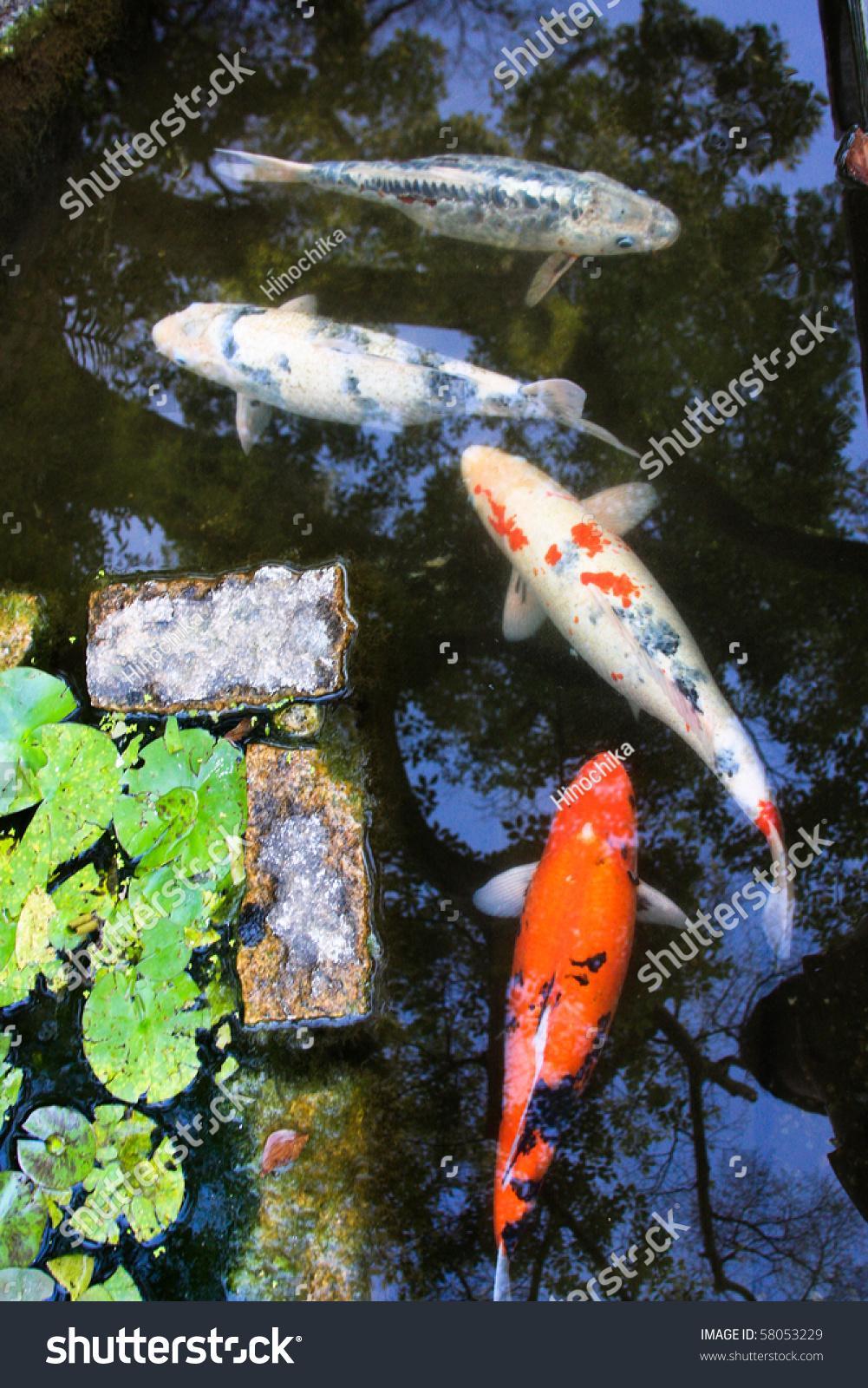 Koi fishes in japanese garden stock photo 58053229 for Japanese garden koi