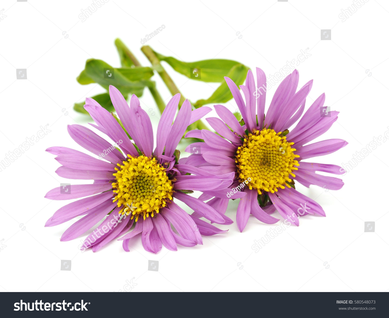 Aster Flowers On White Background Stock Photo Edit Now 580548073