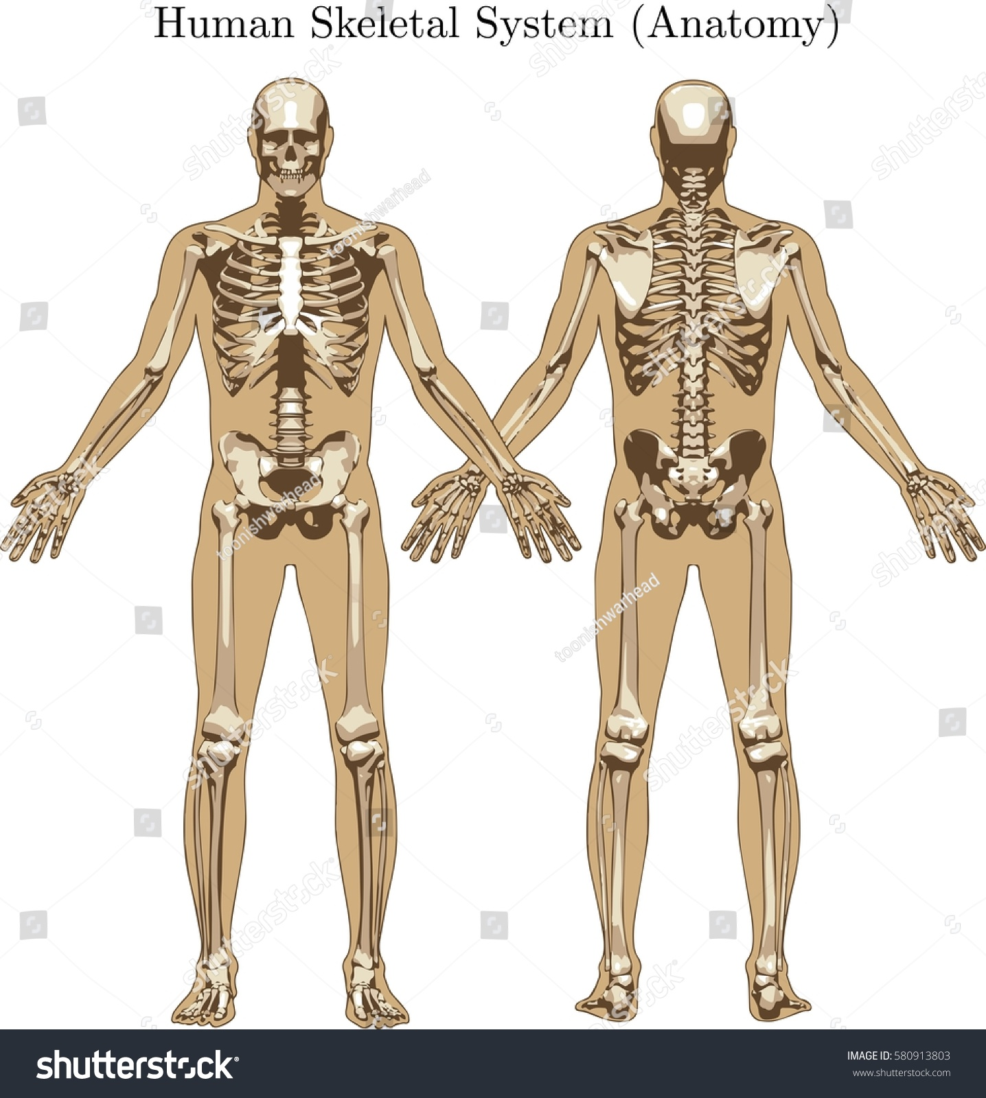 Royalty Free Human Skeletal System With All The 580913803 Stock