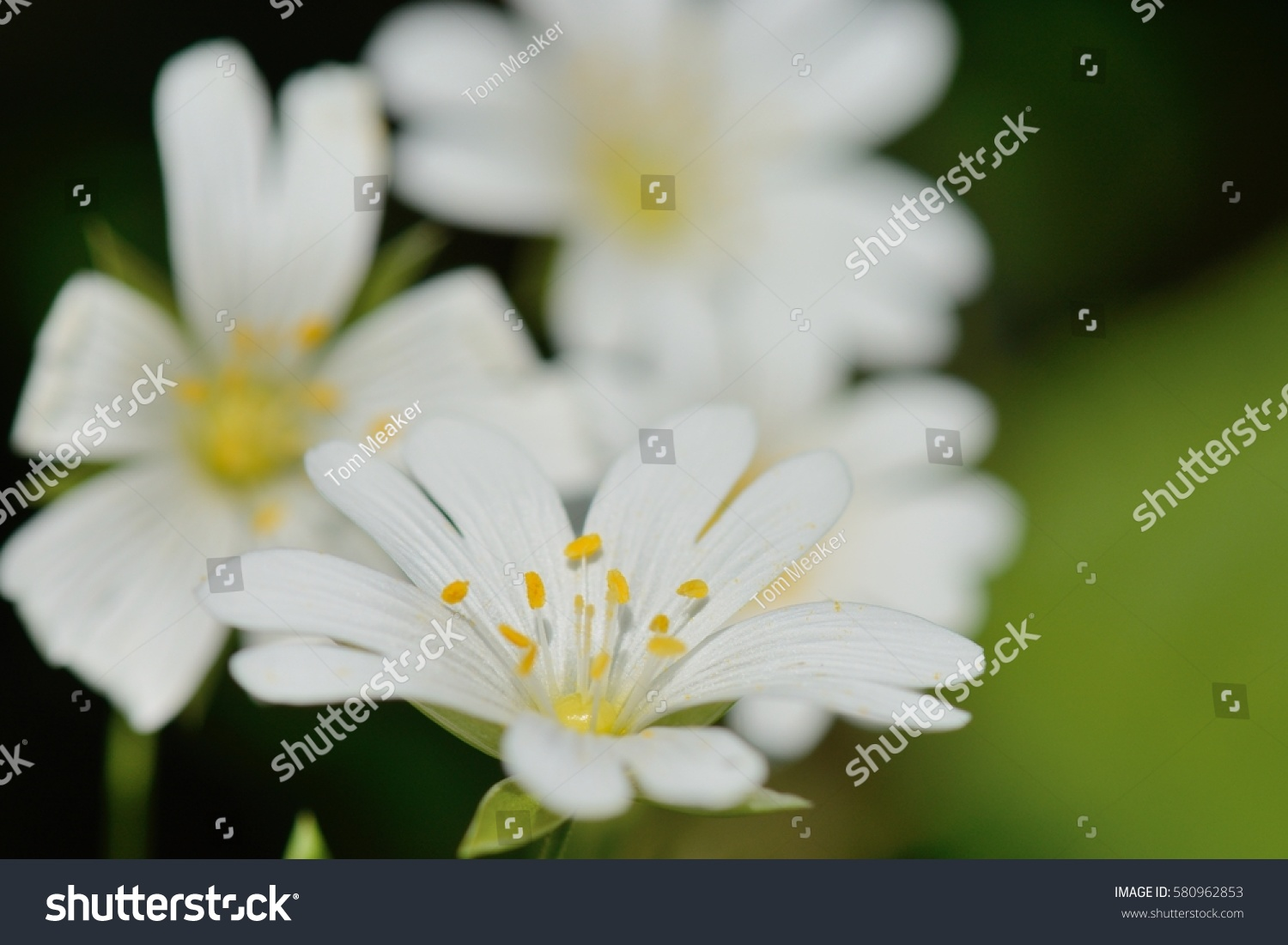 White Flower With Yellow Pollen On Nature Ez Canvas