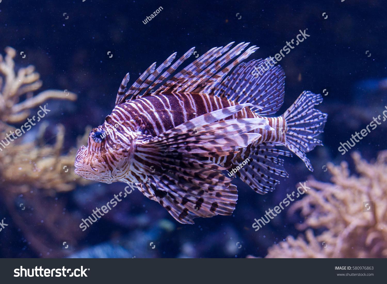 Fish in big aquarium - Beautiful And Exotic Lion Fish In Big Aquarium