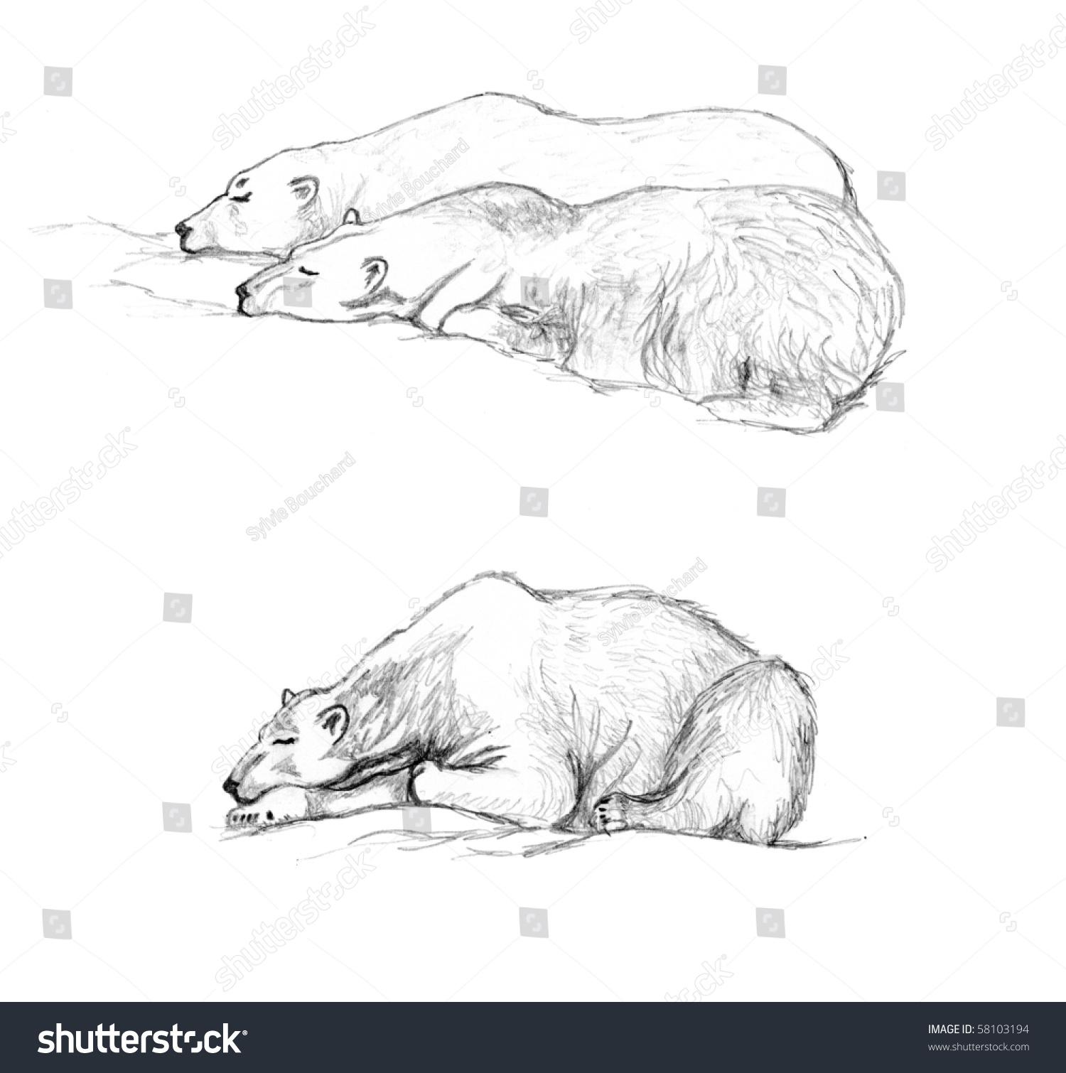 pencil hand drawing study polar bears stock illustration 58103194