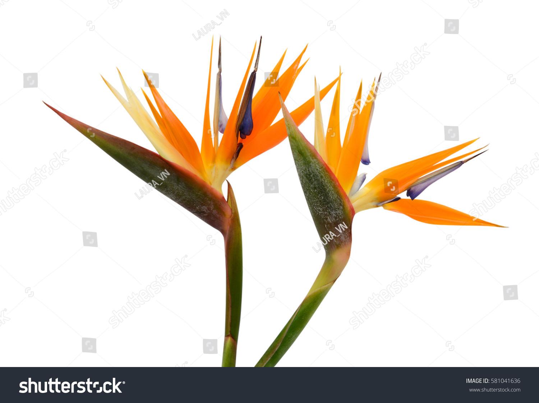 Beautiful Bird Of Paradise Flowers Isolated In White Background Ez