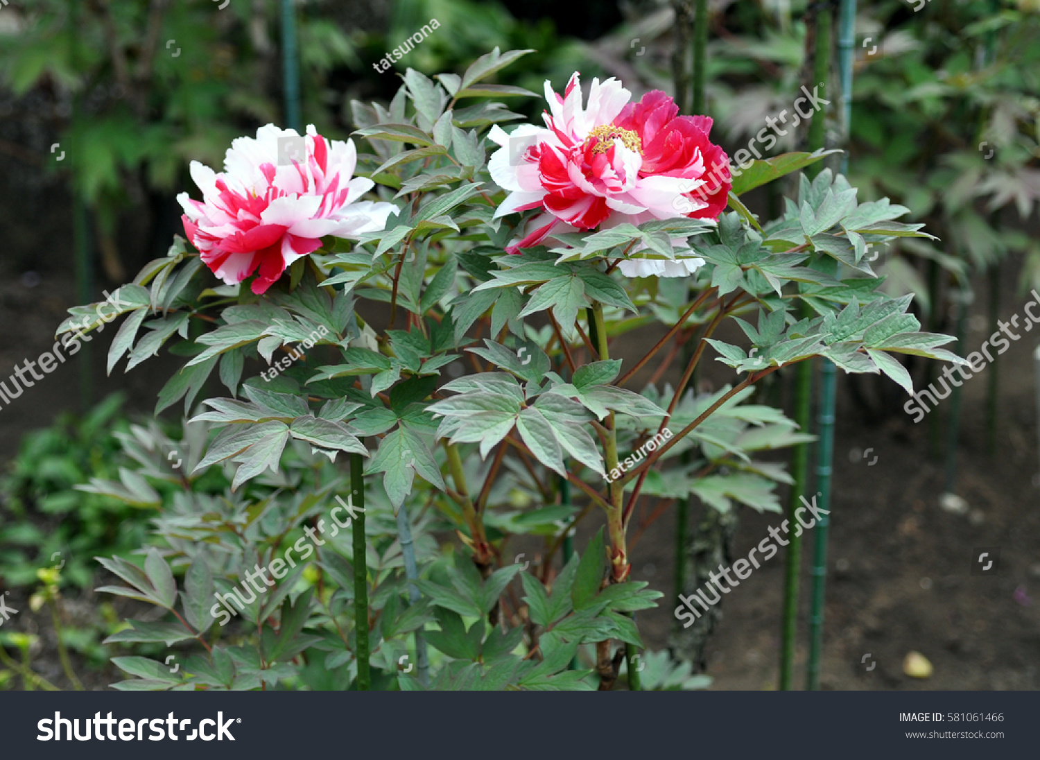 2 Large Mysterious Japanese Flowers Peony Stock Photo Edit Now