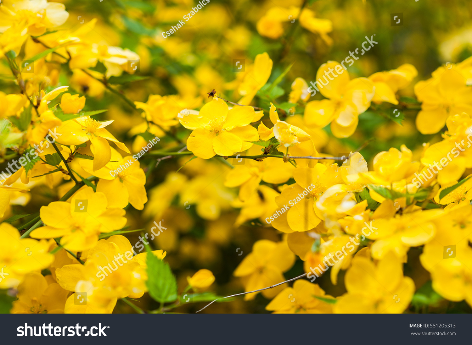 Beautiful Bush With A Lot Of Small Yellow Flowers In The Spring