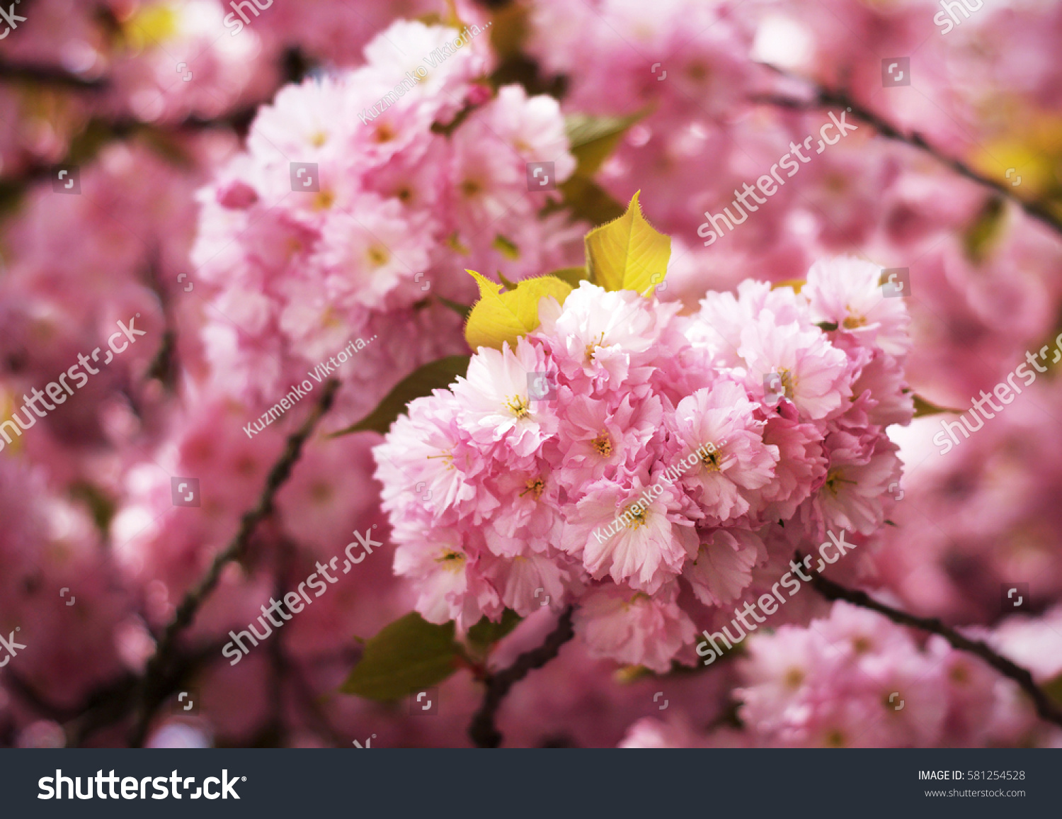 Sakura Cherry Blossoms Japan Pink Spring Stock Photo Edit Now