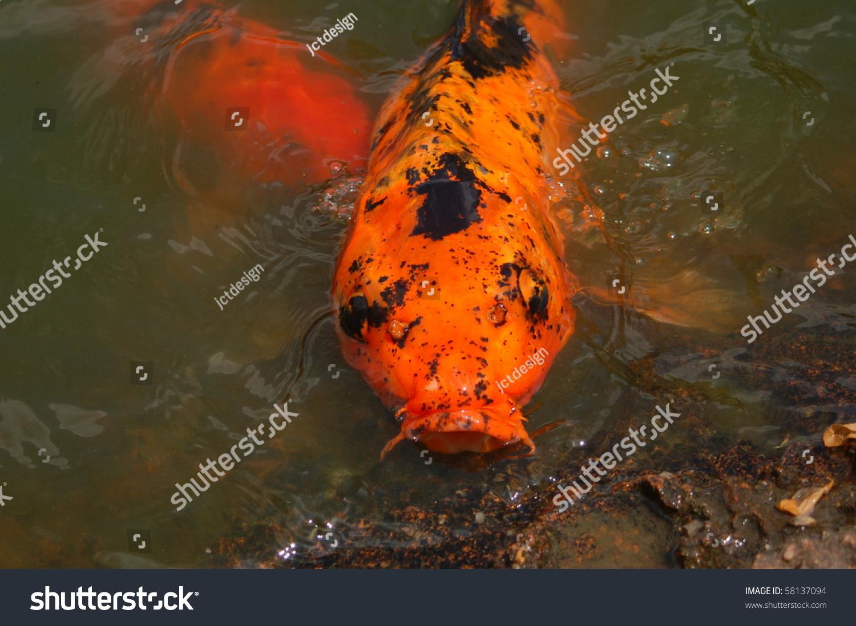 Gold black koi fish mouth open stock photo 58137094 for Black and gold koi fish