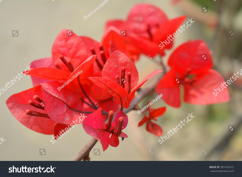 Paper flower bougainvillea famous tropical flower stock photo paper flower bougainvillea famous tropical flower stock photo royalty free 581416315 shutterstock mightylinksfo