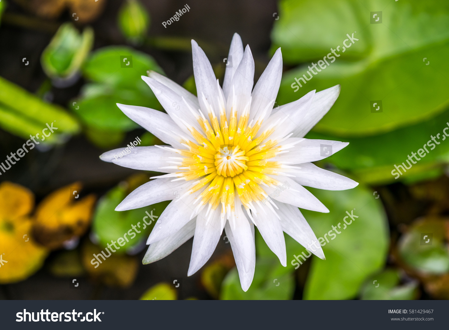 Lotus flower (Lotus, Water-lily, Tropical water-lily or Nymphaea ...