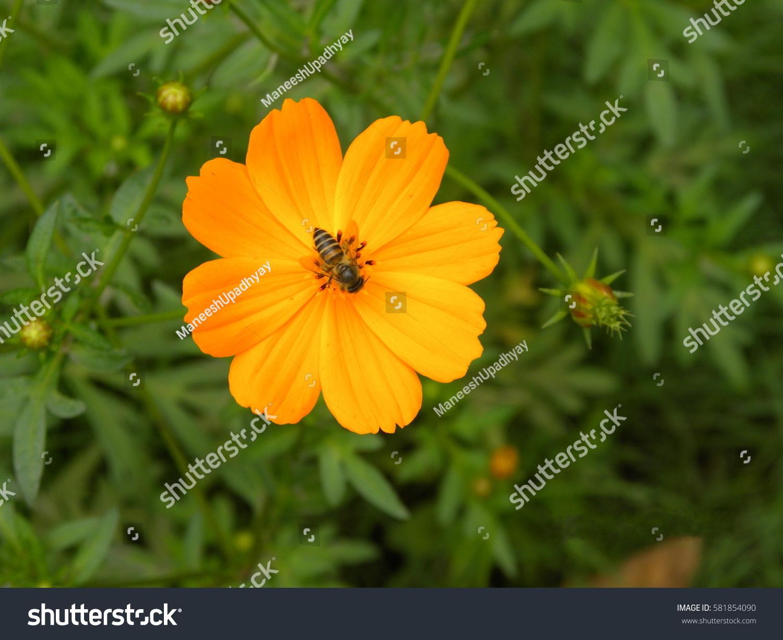 Close Yellow Orange Cosmos Flower Honey Stock Photo Edit Now