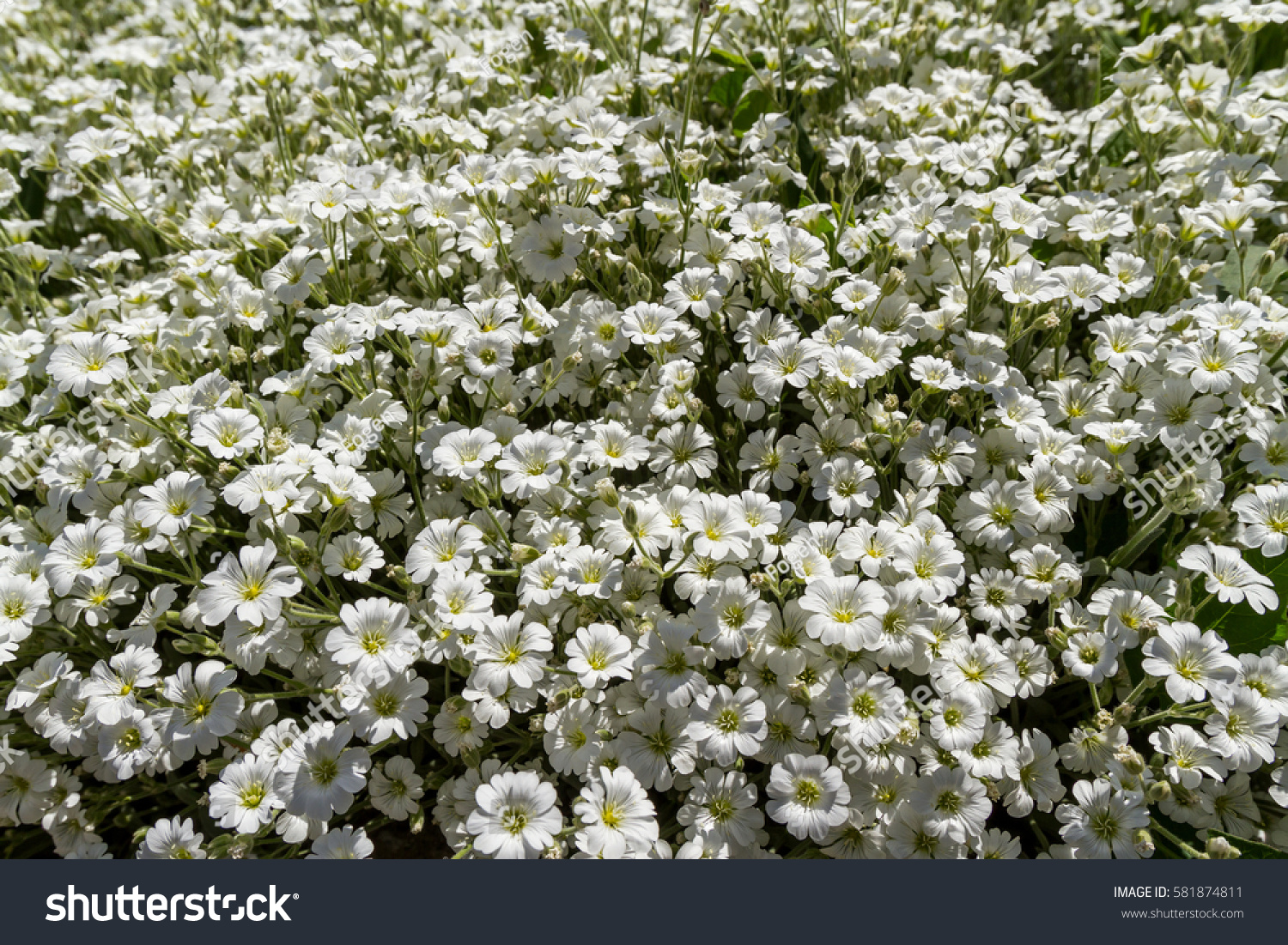 Wild White Flowers On Field On Stock Photo Edit Now 581874811