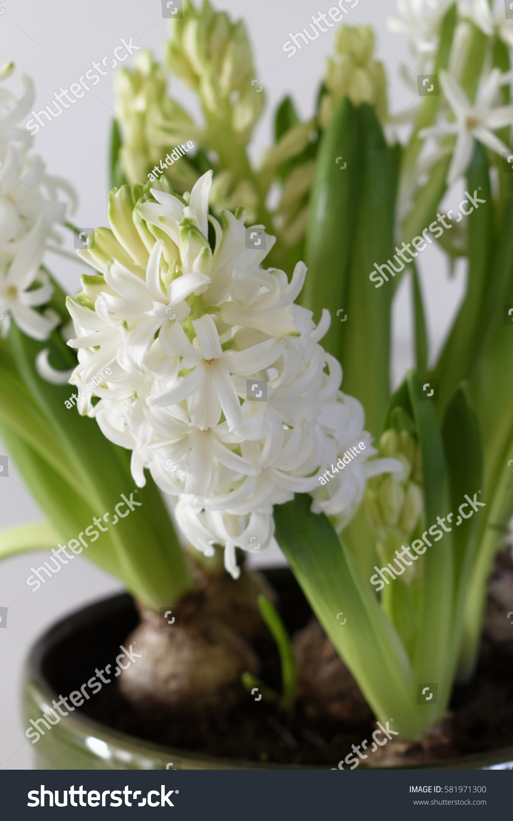 Close White Blooming Hyacinth Flowers Bulbs Stock Photo Edit Now