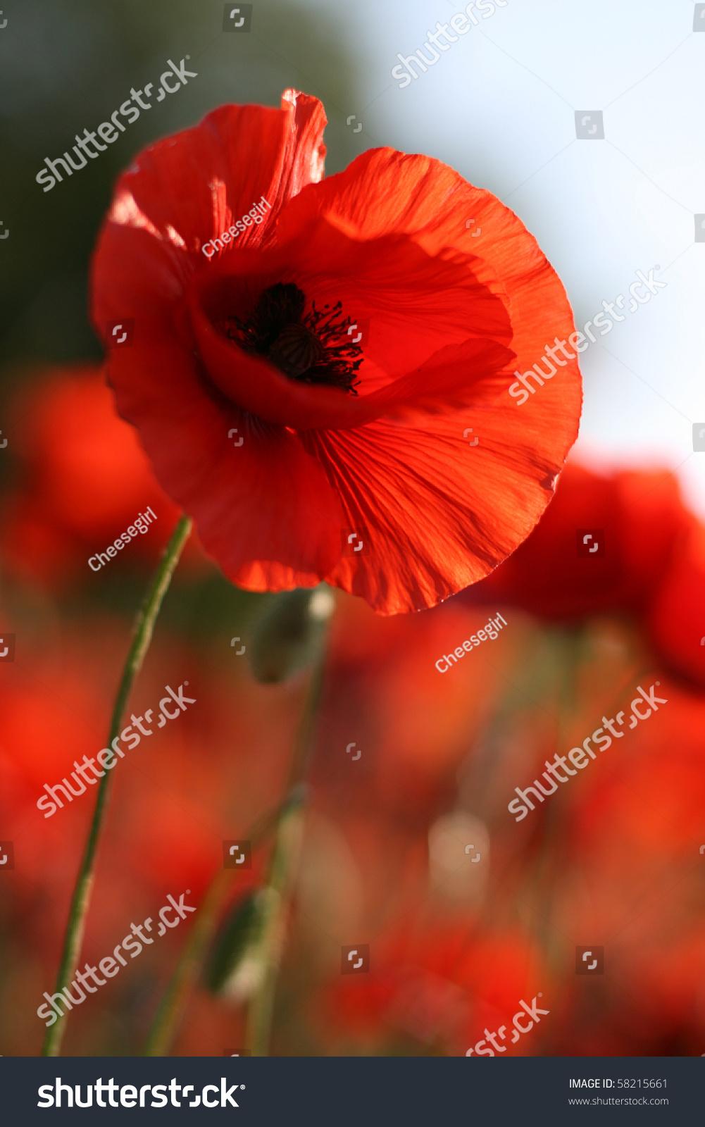 Beautiful Poppy Flower On Green Field Stock Photo Edit Now