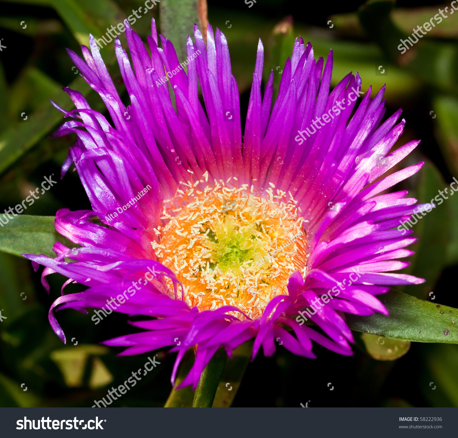 macro of purple flower with bright yellow center with detail stock, Beautiful flower
