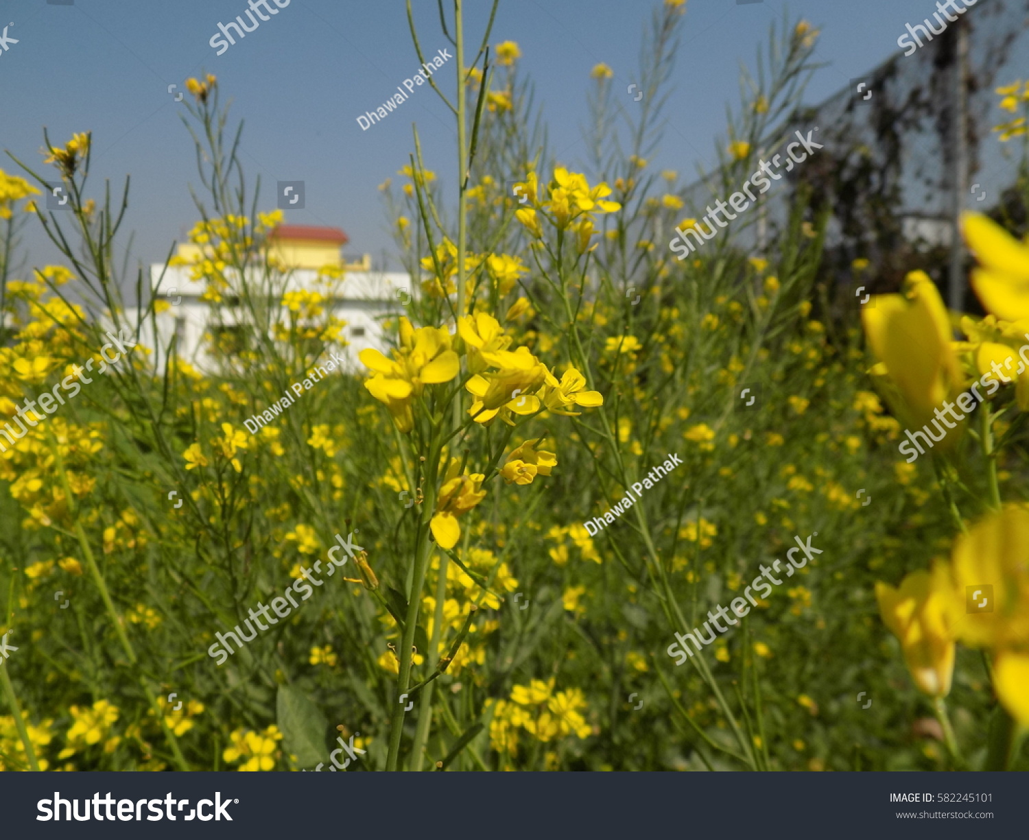 This Photo Shows Flowers Mustard Yellow Stock Photo (Edit Now ...
