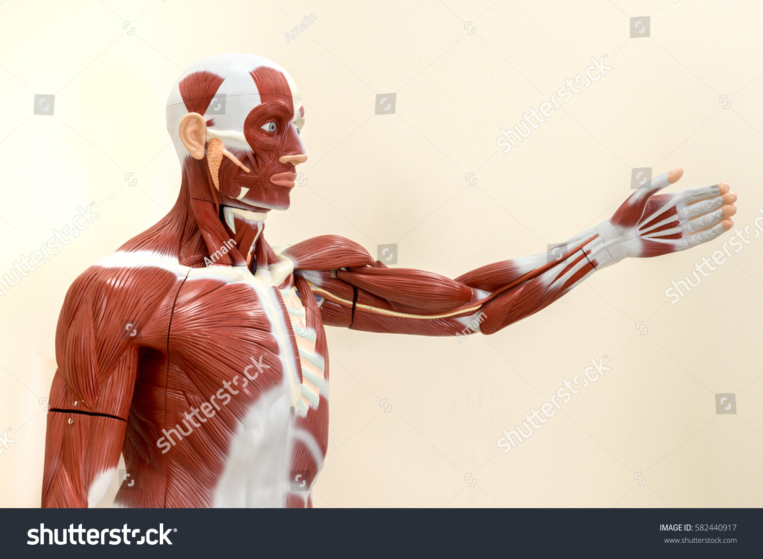 Human Muscles Anatomy Model Isolated Upper Stock Photo Royalty Free