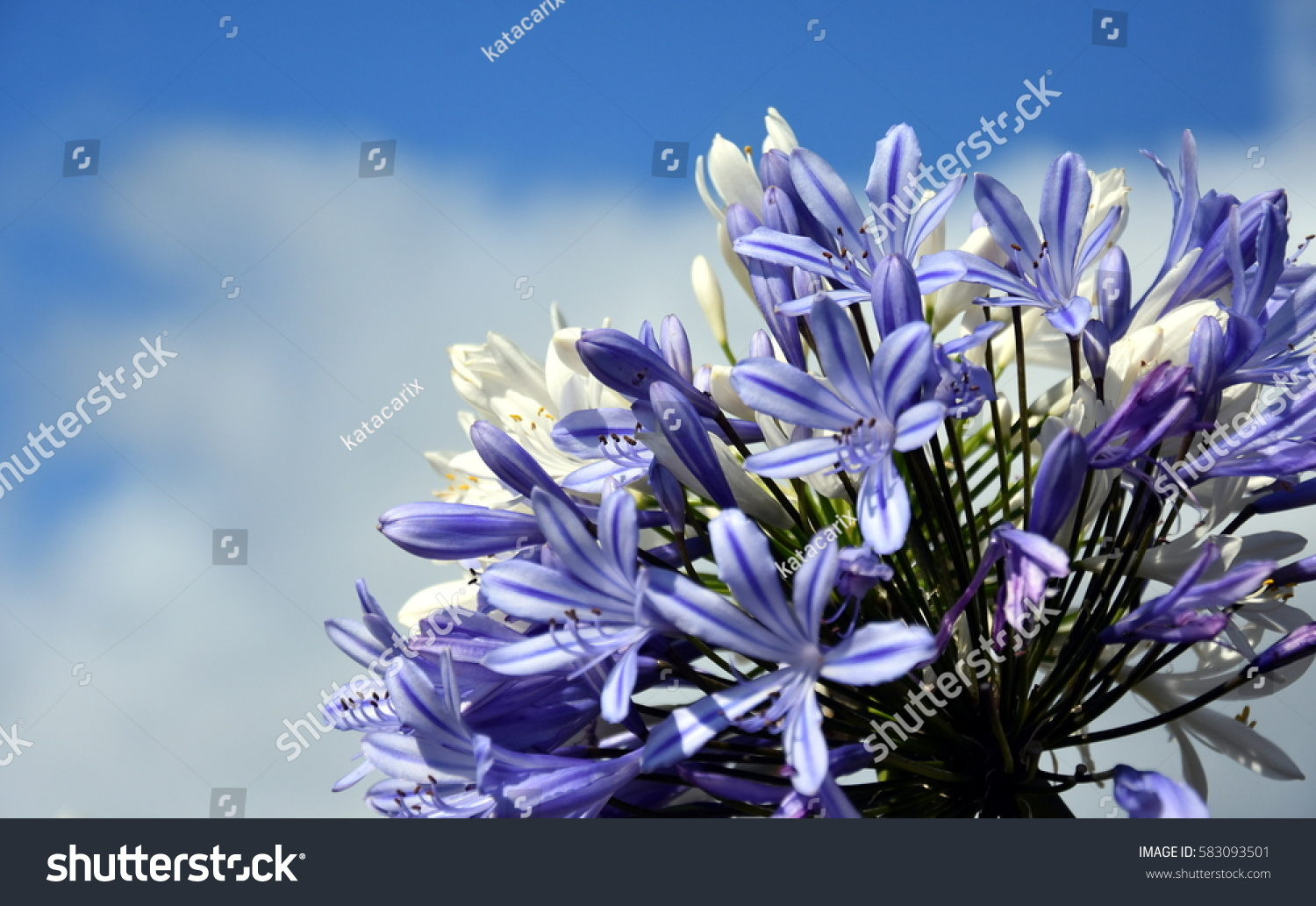 Quater lily nile called african blue stock photo edit now quater of lily of the nile also called african blue lily flower in purple izmirmasajfo