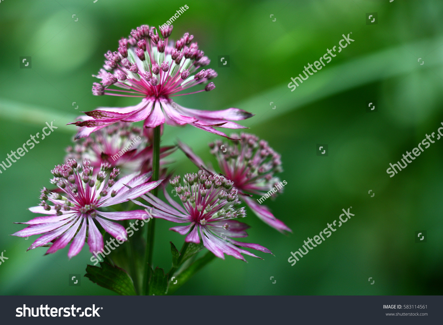 Unusual Flowers Astrantia With Narrow Petals Of White Pink Color On