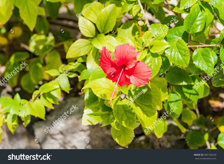 Red Hibiscus Flower Tropical Garden Island Stock Photo Edit Now
