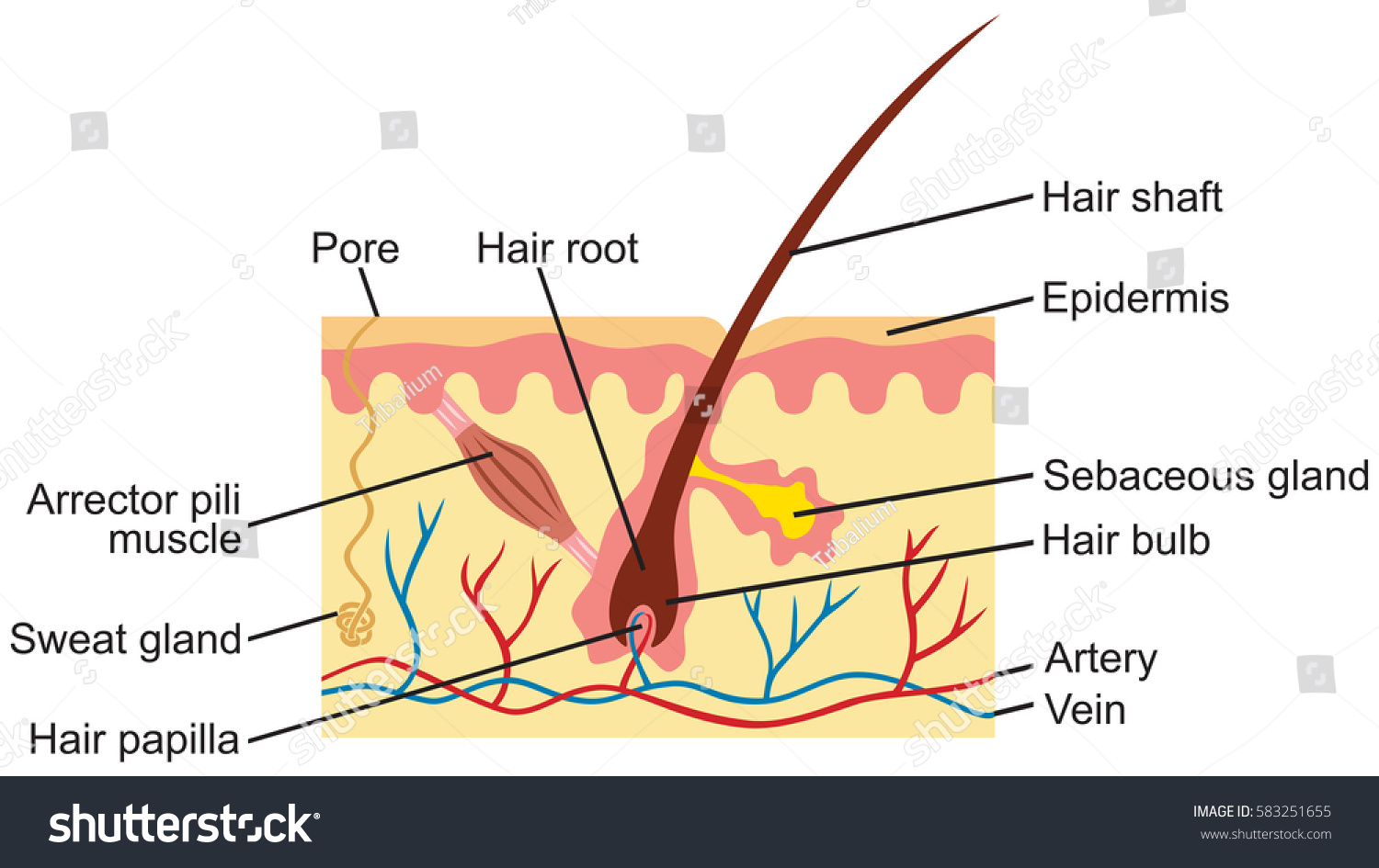 Anatomy Hair Diagram - Introduction To Electrical Wiring Diagrams •