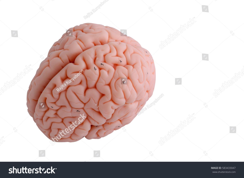 Human Brain Anatomy Model On White Stock Photo (Edit Now) 583433047 ...