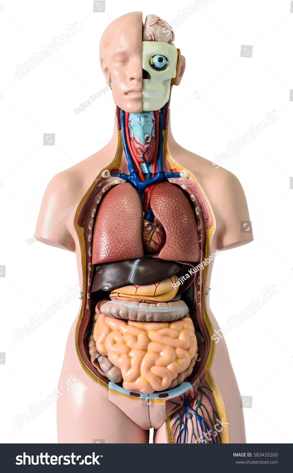 Human Body Anatomy Model Stock Photo (Royalty Free) 583433260 ...