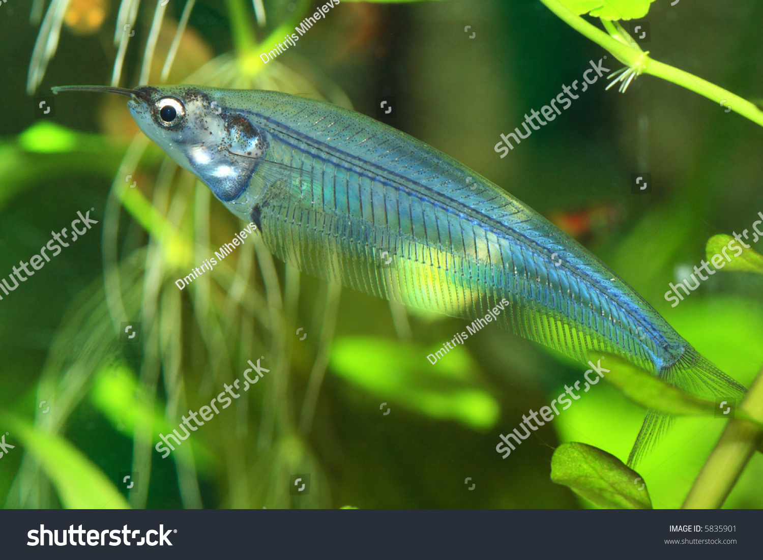 Weird transparent exotic fish in aquarium stock photo for Weird freshwater fish