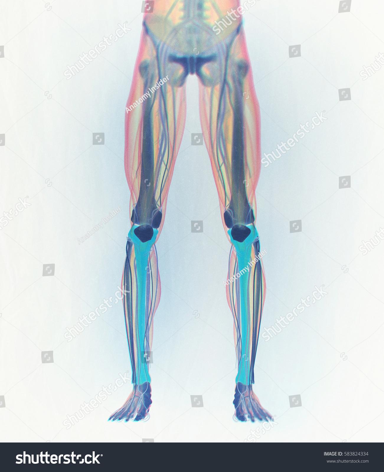 Tibia Bone Human Anatomy 3 D Illustration Stock Illustration ...