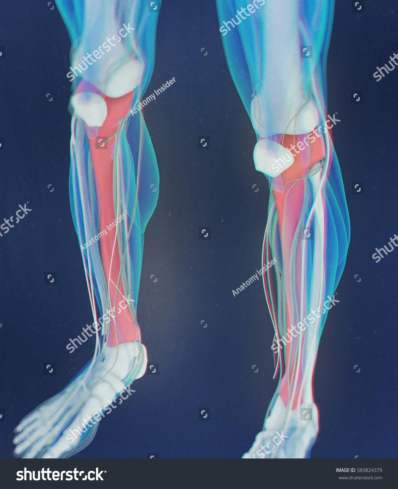 Tibia Bone Human Anatomy 3 D Illustration Stock Illustration